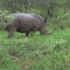 A Peregrine Dame Web Exclusive: Thula Rhinos Deleted Scene