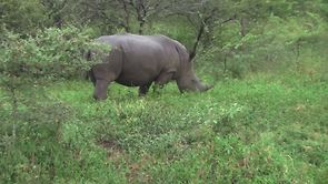 Web Exclusive: Thula Rhinos Deleted Scene